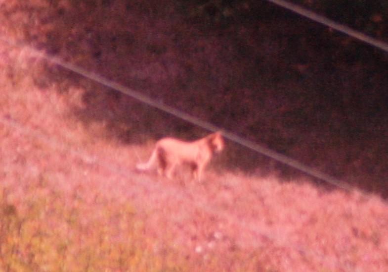 Un puma in Val d'Aveto?