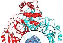 OLio essenziale di garofano eugenolo potenziale anti Covid -19